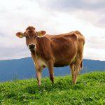 El cuento de la vaca y la familia pobre